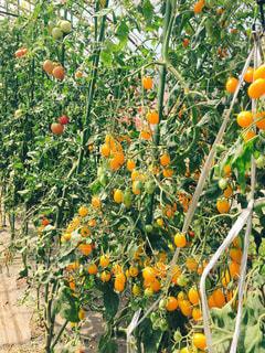 黄色のトマトの写真・画像素材[744911]