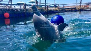イルカとキャッチボールの写真・画像素材[824193]