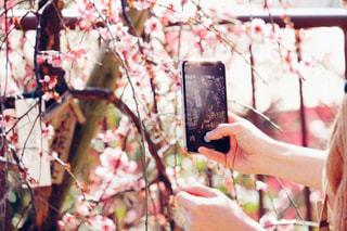 スマホで梅を撮影の写真・画像素材[1841580]