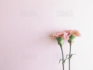 花 カーネーションの写真・画像素材[2311137]