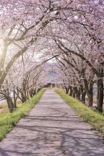 桜のトンネルの写真・画像素材[1122034]