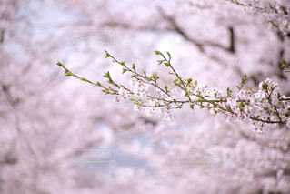 桜の終わりの写真・画像素材[1503095]