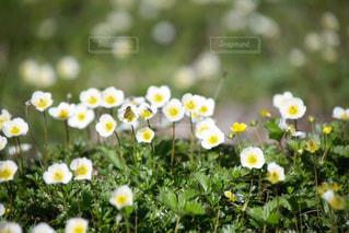 チングルマ 花の写真・画像素材[1503098]