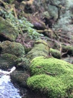 生きる苔の写真・画像素材[4023798]