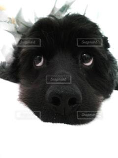 カメラを見て犬の写真・画像素材[748654]