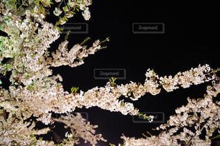 絵に描いたような夜桜の写真・画像素材[1169521]