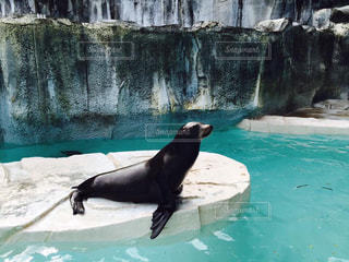 水のプールで泳ぐアザラシの写真・画像素材[747911]