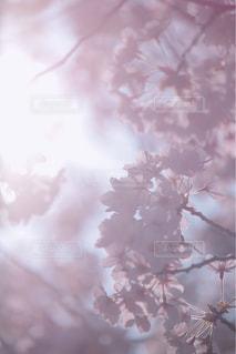 ピンクの花の木の写真・画像素材[1090778]