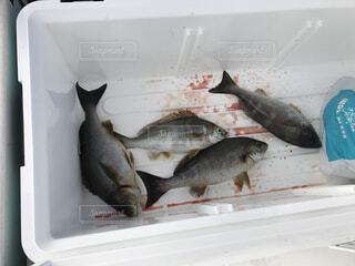 クーラーボックスの魚の写真・画像素材[4569358]