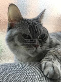 横になって、カメラを見ている猫の写真・画像素材[756930]