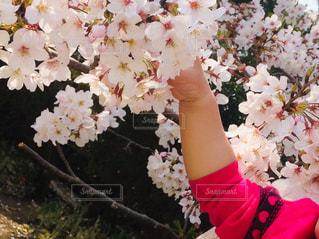 はじめてのお花見の写真・画像素材[2873679]