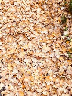 落ち葉のじゅうたんの写真・画像素材[902555]