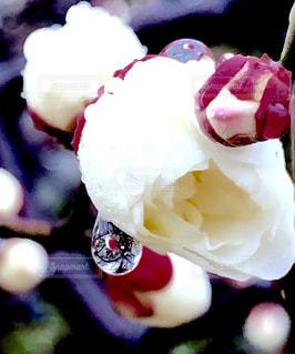自宅の梅が咲いてきました - No.1001755