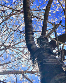 森の大きな木の写真・画像素材[1070807]