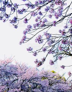 紫色の花と木の写真・画像素材[1099259]