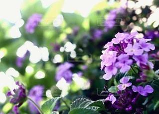 紫色の花のクローズアップの写真・画像素材[3345697]