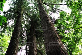 森の大きな木の写真・画像素材[805655]