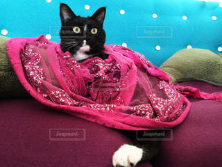 ストールを巻いた猫の写真・画像素材[806541]