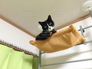 ハンモックから見下ろす猫の写真・画像素材[1599849]