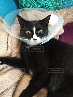 エリザベスカラーをつけた猫の写真・画像素材[1599858]