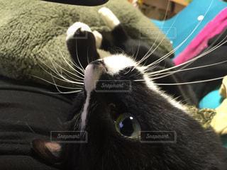 猫のアップの写真・画像素材[1599866]