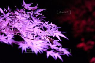 紫光る紅葉の写真・画像素材[750707]