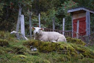 たたずむ羊 - No.751999