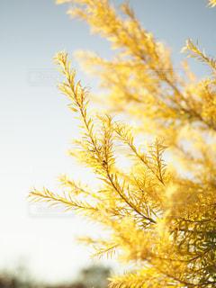 黄色の植物の写真・画像素材[751739]