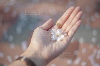 手のひらに桜の花びらの写真・画像素材[3182893]