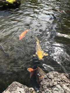 水の中を泳ぐ鳥の写真・画像素材[782937]