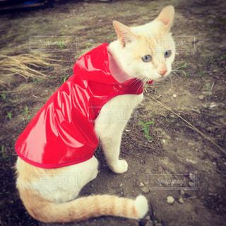 赤いカッパを着た白猫の写真・画像素材[751810]