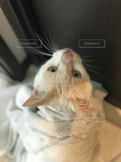 風呂上がりの猫の写真・画像素材[760142]