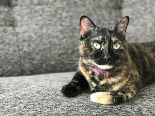 ソファに座る猫の写真・画像素材[777517]