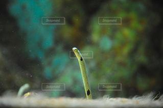 松島水族館のチンアナゴの写真・画像素材[1030746]