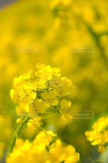菜の花のアップの写真・画像素材[1031095]