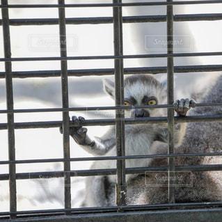 動物園のワオキツネザルの赤ちゃんの写真・画像素材[1219464]