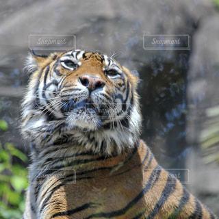 動物園のスマトラトラの写真・画像素材[1219467]