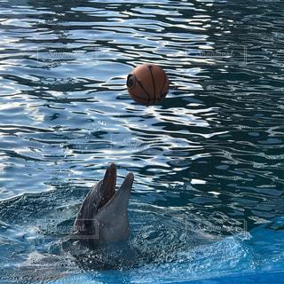 ボールで遊ぶイルカの写真・画像素材[1785910]