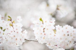 桜の花のアップの写真・画像素材[1877427]