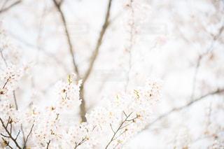 ソメイヨシノの写真・画像素材[1877428]