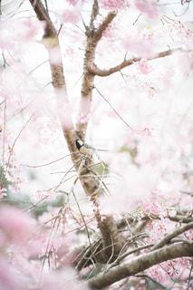 桜と野鳥の写真・画像素材[1877432]