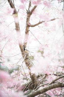 桜と野鳥の写真・画像素材[1877433]