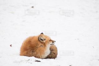 雪の上で寝るキツネの写真・画像素材[2893582]