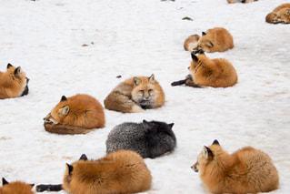 雪に覆われた野原の上に寝るキツネの写真・画像素材[2893585]