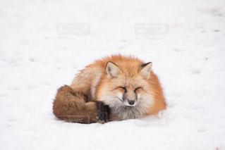 雪の上のキツネの写真・画像素材[2893584]
