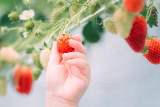 苺を持つ子供の手の写真・画像素材[3024532]