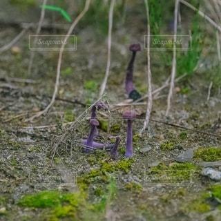 地面から生えるキノコの写真・画像素材[3530714]