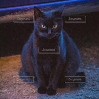 妊娠中の黒猫の写真・画像素材[4289359]