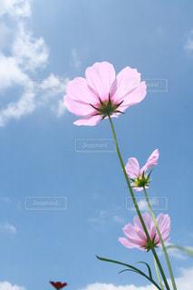 秋桜と青空の写真・画像素材[798502]