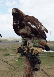 モンゴル鷲の写真・画像素材[751995]